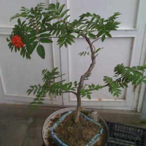 bonsai lijsterbes met bessen